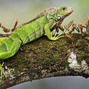 Green Iguana Iguana Iguana, Tarcoles Art Print