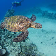 Green Sea Turtles  Art Print by Dave Fleetham - Printscapes