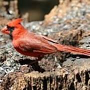 Hungry Cardinal Art Print