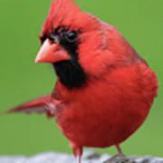 Hello Cardinal Art Print