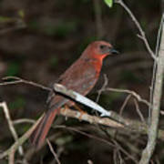 Hepatic Tanager At The Coba Ruins Art Print