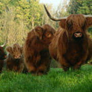 Highland Cows Art Print