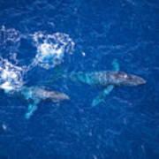 Humpback Whales Aerial Art Print
