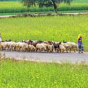Indian Villagers Herding Sheep. Art Print