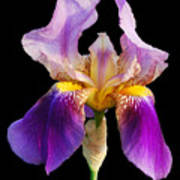 Iris 5 Art Print