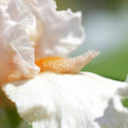 Iris Flowers Art Print