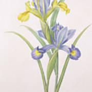 Iris Xiphium Art Print by Pierre Joseph Redoute