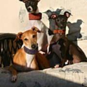 Italian Greyhounds Art Print
