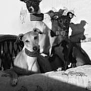 Italian Greyhounds In Black And White Art Print