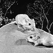 Kangaroo Rat Art Print