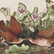 Key West Dove Art Print