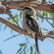 Kookaburra On A Branch Art Print