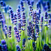 Lavander Flowers In Lavender Field Art Print