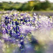 Lavender Purple Flower Blooming On Side Road In Texas At Sunset Art Print