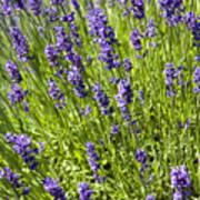 Lavender Scent Art Print
