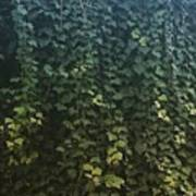 Leaf Of The Ivy   Art Print