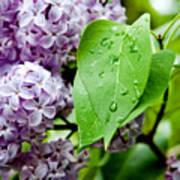 Lilac Drops Art Print