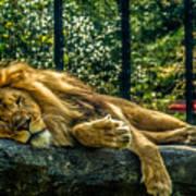 Lion Relaxing Art Print