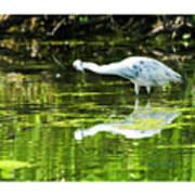 Little Blue Heron Fishing Art Print