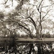 Live Oak Reflections Art Print