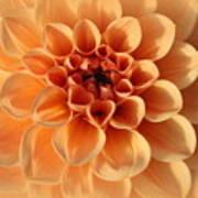 Lovely In Peaches And Cream - Dahlia Art Print