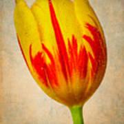 Lovely Textured Tulip Art Print