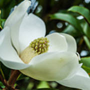 Magnolia Bloom IIi Art Print
