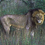 Male Lion Art Print