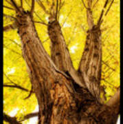 Maple Tree Portrait 2 Art Print