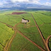 Maui Sugar Cane Art Print
