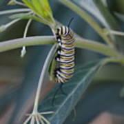 Monarch Catterpillar  Art Print