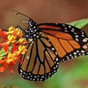 Monarch On Milkweed Art Print