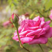 Moondrops 85 Hybrid Tea Rose, Pink Rose Originally Produced By  Art Print