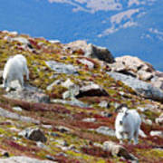 Mountain Goats On Mount Bierstadt In The Arapahoe National Forest Art Print