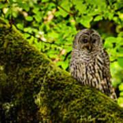 Muir Woods Owl Art Print