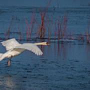 Mute Swan In Flight Art Print