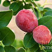 Natal Plums On Branch Art Print