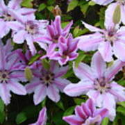 Nelly Moser Clematis Art Print