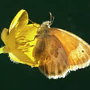 Ochre Ringlet Butterfly Art Print