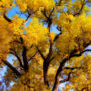 Old Giant  Autumn Cottonwood Orton Art Print