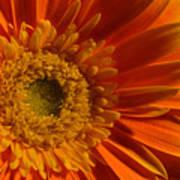 Orange Gerbera Daisy Art Print
