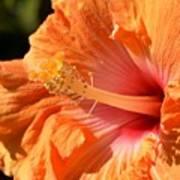 orange Hibiscus blossom Art Print