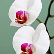 Orchid-2-st Lucia Art Print