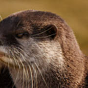 Oriental-small-clawed-otter Art Print