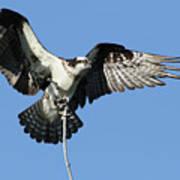 Osprey Art Print