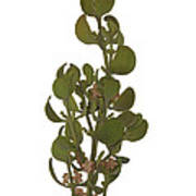 Pacific Mistletoe Art Print