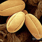 Pear Pollen Grains, Sem Art Print