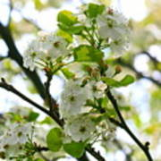 Pear Tree Blossoms Art Print