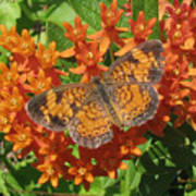 Pearly Crescentspot Butterfly Art Print