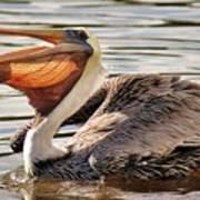 Pelican Catching A Fish Art Print